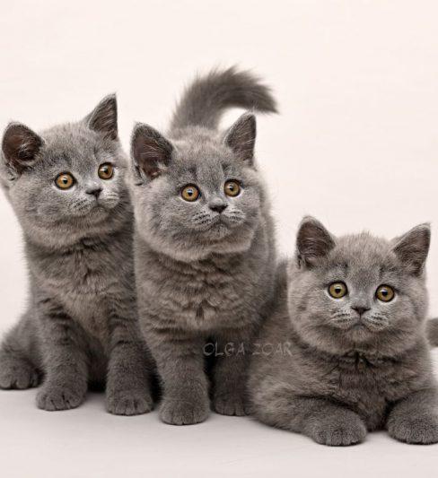 בית גידול לחתולים בריטיים – King Pride