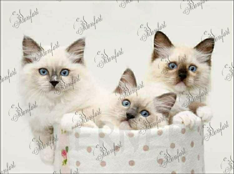 בית גידול לחתולי רגדול – Monfort