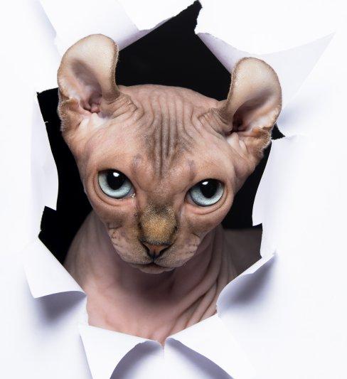 בית גידול לחתולי ספינקס קנדי, במבינו, אלף ודוולף – SenLano