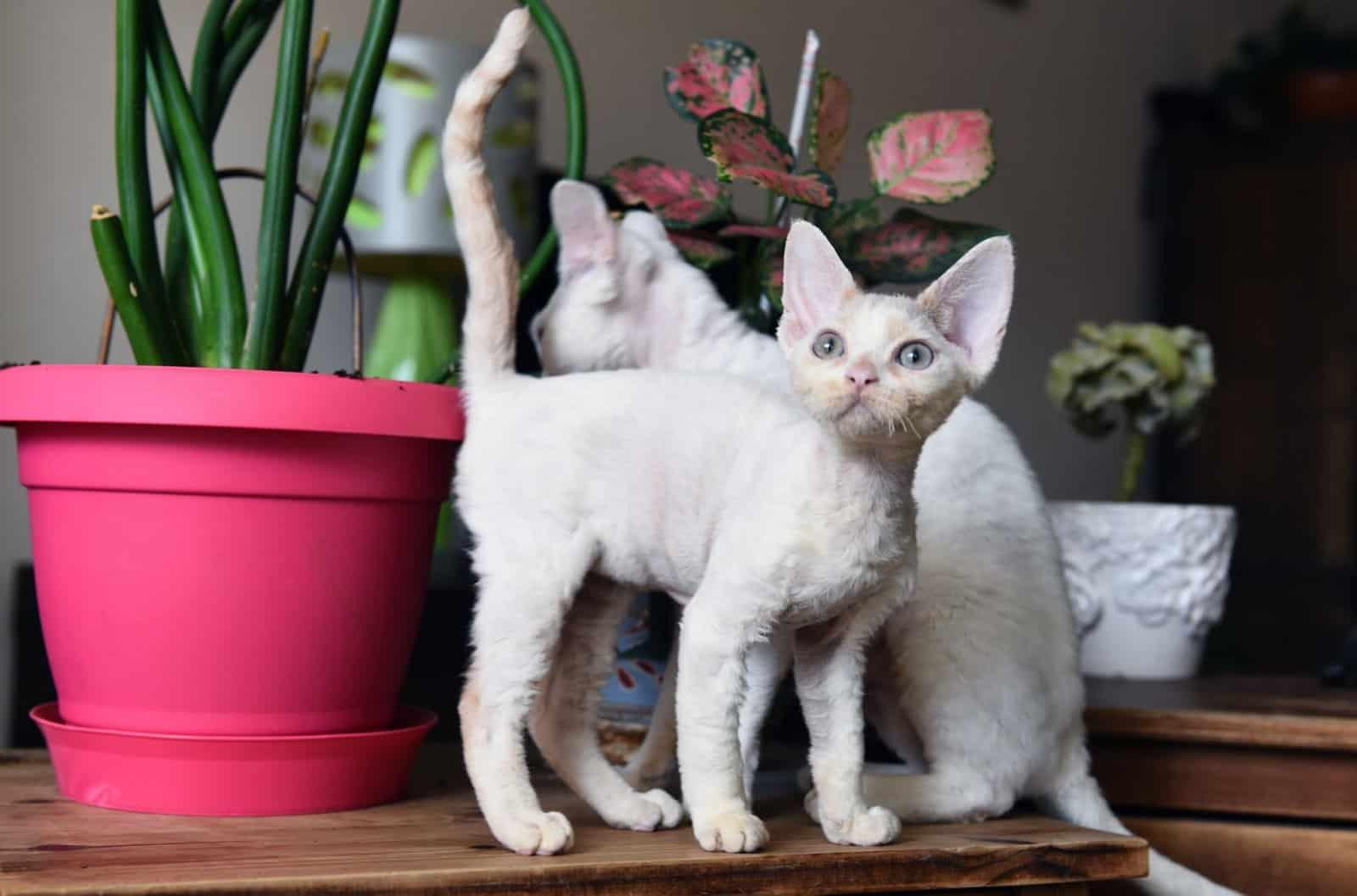 בית גידול לחתולי דבון רקס – Viserrex