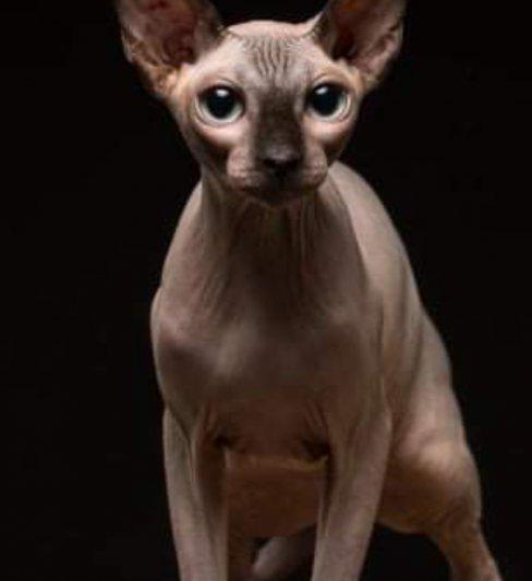 בית גידול לחתולי ספינקס קנדי ואלף – Libertas