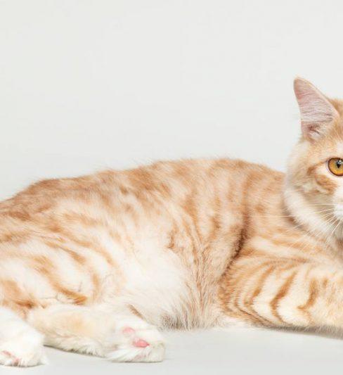 בית גידול לחתולי בובטייל קורילי – Yunamari