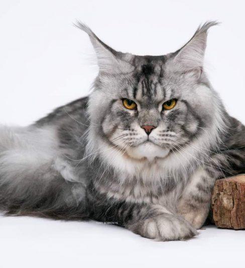 בית גידול לחתולי מיין קון – Yaviracoon