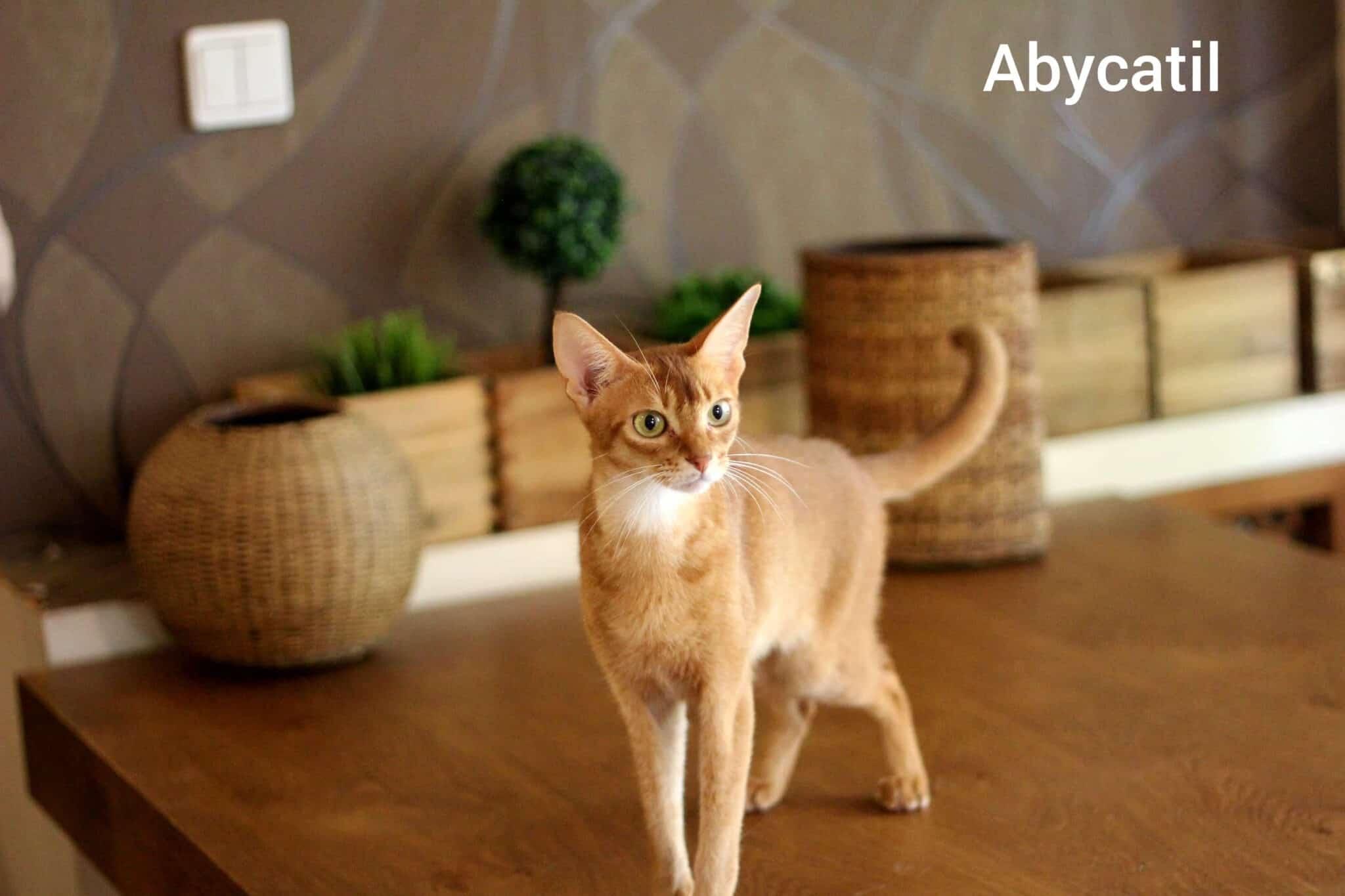 בית גידול לחתולי אביסיני – Abycatil