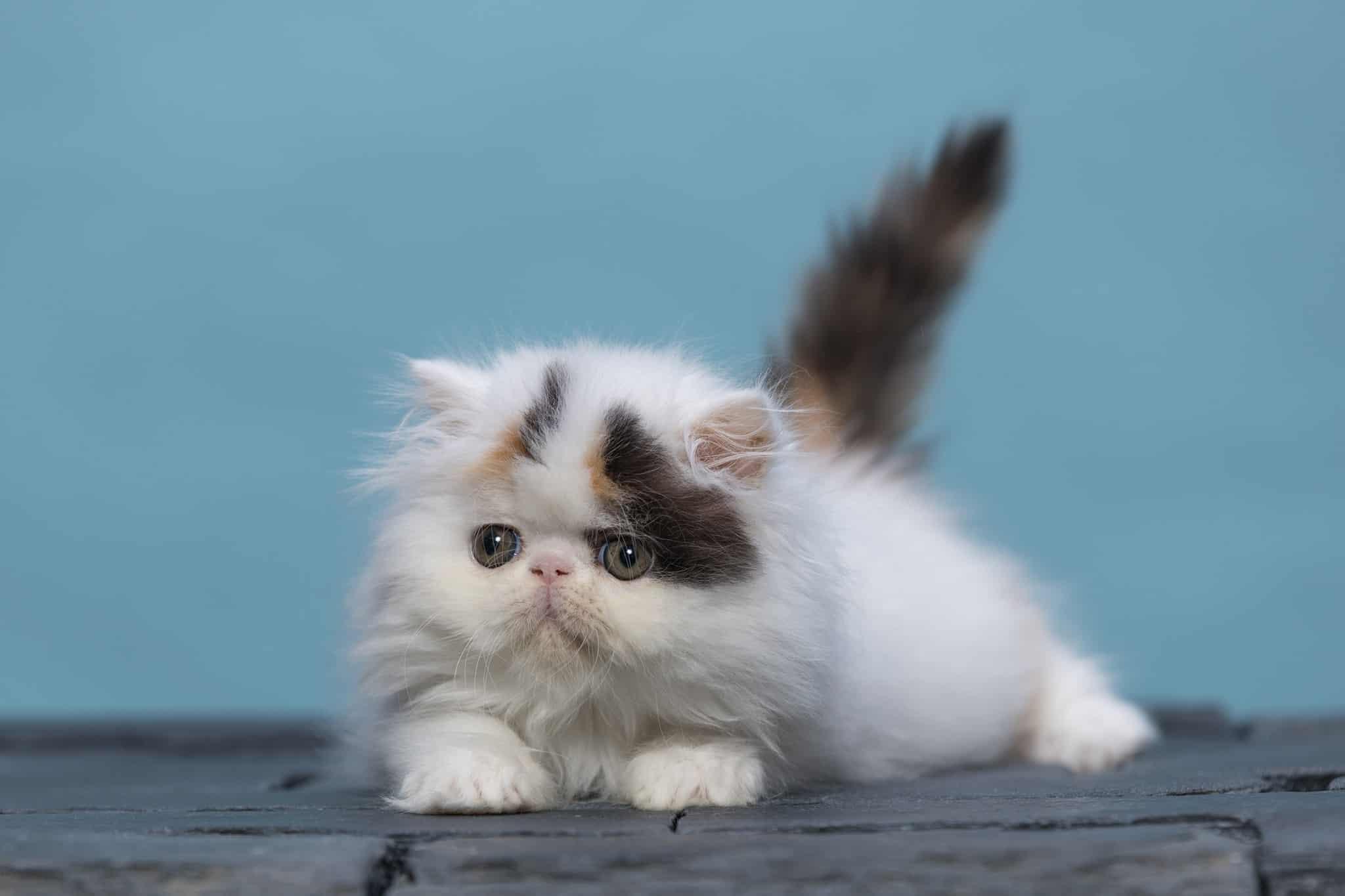 בית הגידול לחתולים פרסיים AHAVA