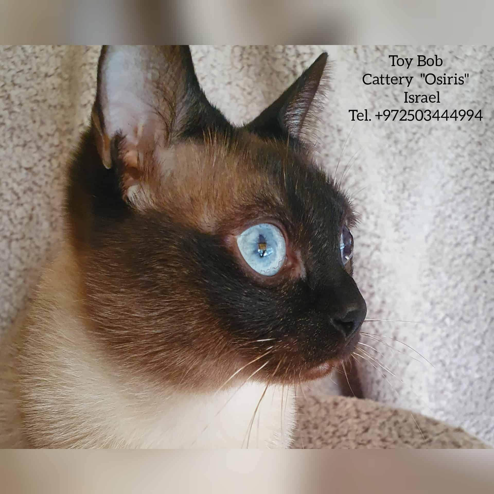 בית גידול לחתולי טוי בוב – Osiris
