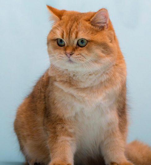 בית גידול לחתולי בריטי צ'ינצ'ילה, סקוטים וסילקרק רקס – Pride of Haifa