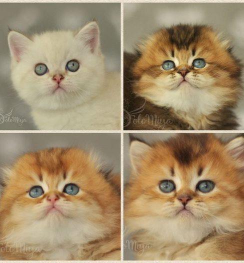 בית גידול לחתולי סקוטיש פולד – Solomiya