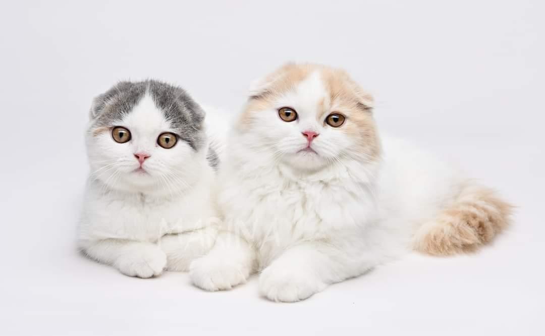 בית גידול לחתולי סקוטיש פולד – Spotty Park