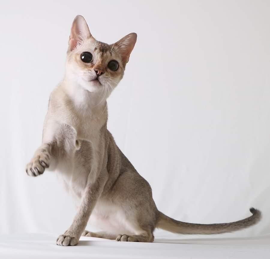 בית גידול לחתולי סינגפורה – Galax Cat