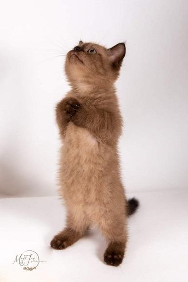 חתול מאנצ'קין למכירה