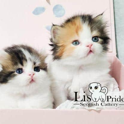 בית גידול לחתולים סקוטים – Lis Pride