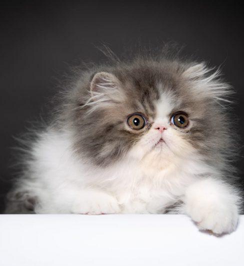 בית גידול לחתולים פרסים ואקזוטים – Levona