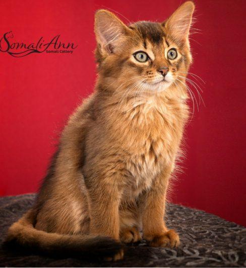 בית גידול לחתולים סומליים – Somaliann