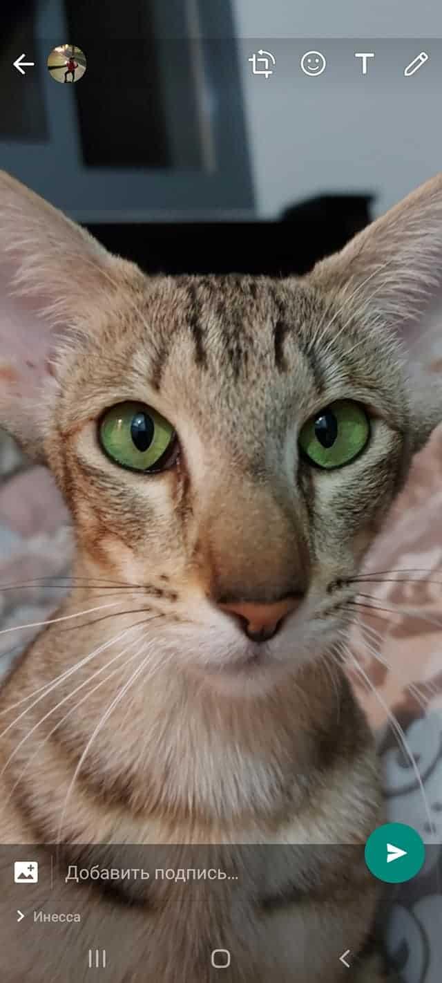 בית גידול לחתולים אוריינטלים  – Mizel cats