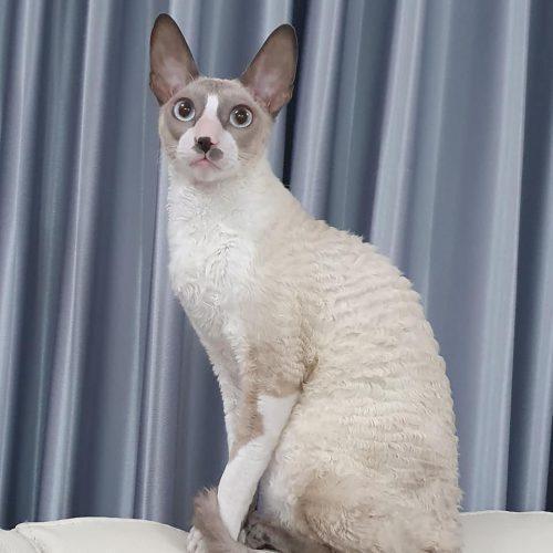 בית גידול לחתולי קורניש רקס - Fancy Rex