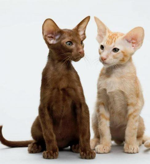 בית גידול לחתולים אוריינטליים קצרי שיער – Graceful