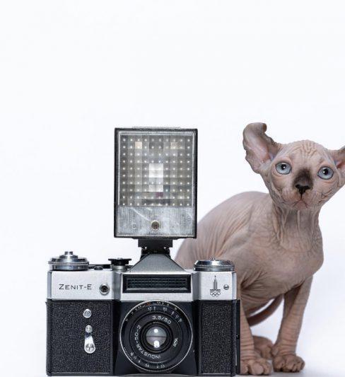 בית גידול לחתולי אלף, ספינקס ודוולף Elf Cat Sharm