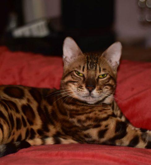 בית גידול לחתולים בנגליים – Bengal home cattery