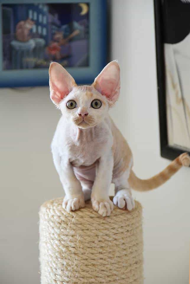 VISER is an Israeli Devon Rex Cattery. Our goal is to produce healthy, well-socialized kittens with the wonderful Devon Rex personalit
