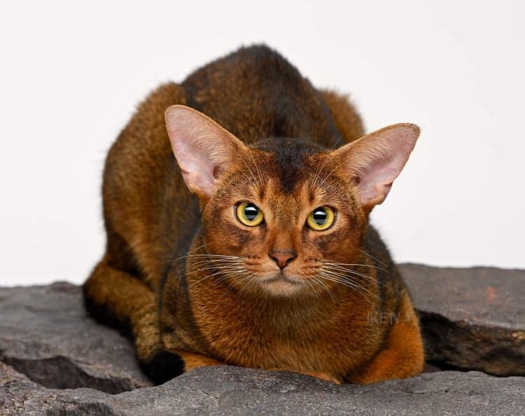בית גידול לחתולי אביסיני – Cudeso