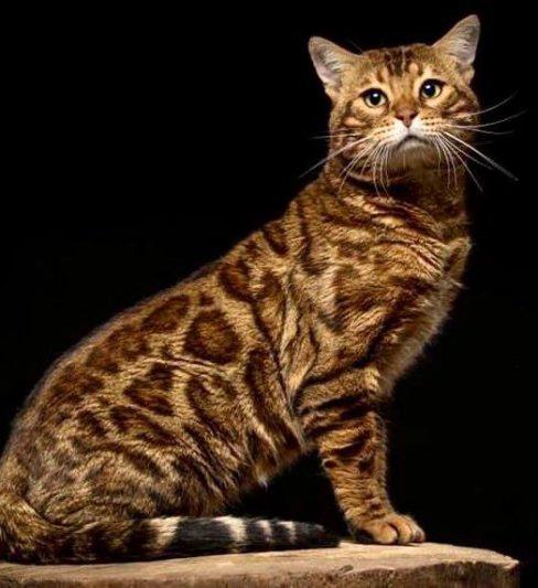 בית גידול לחתולי בנגלי – De Eve