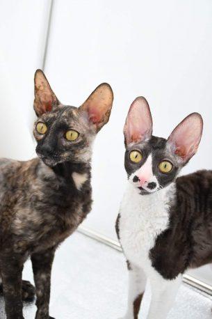 בית גידול חתולים מגזע cornish rex - המלטה עתידית