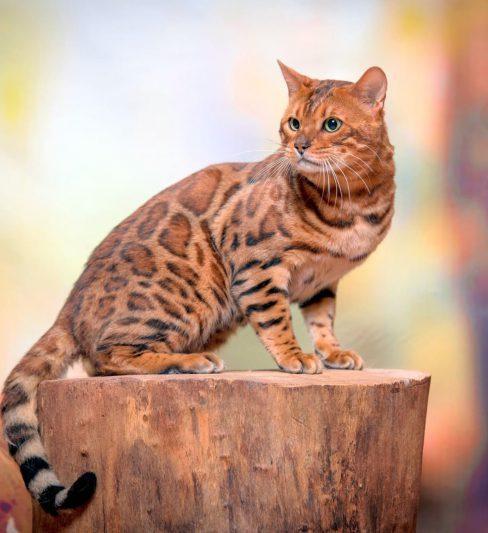 De Eve בית גידול לחתולים בנגלים