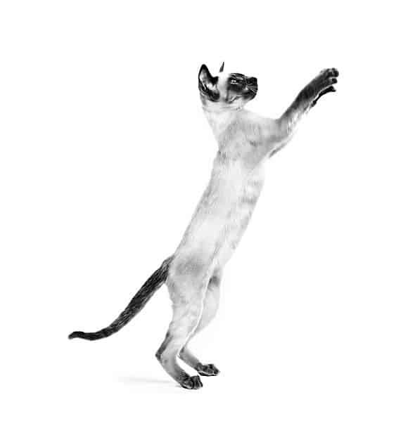 חתול משחק