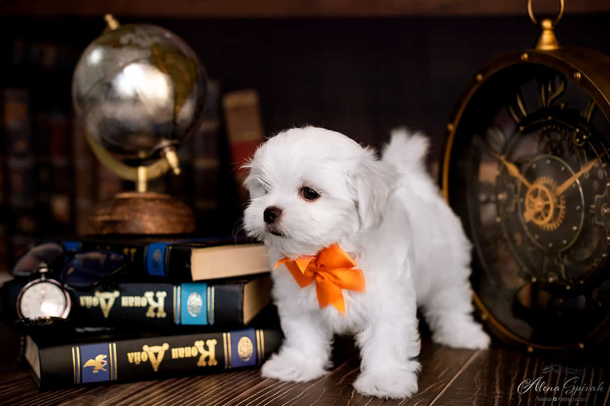Magic White Song Kennel